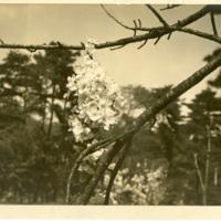 Album 3 loose image 7. Walter Tadao Oka photographs